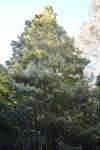Prolific Sassafras Flowering 2013 (Large)