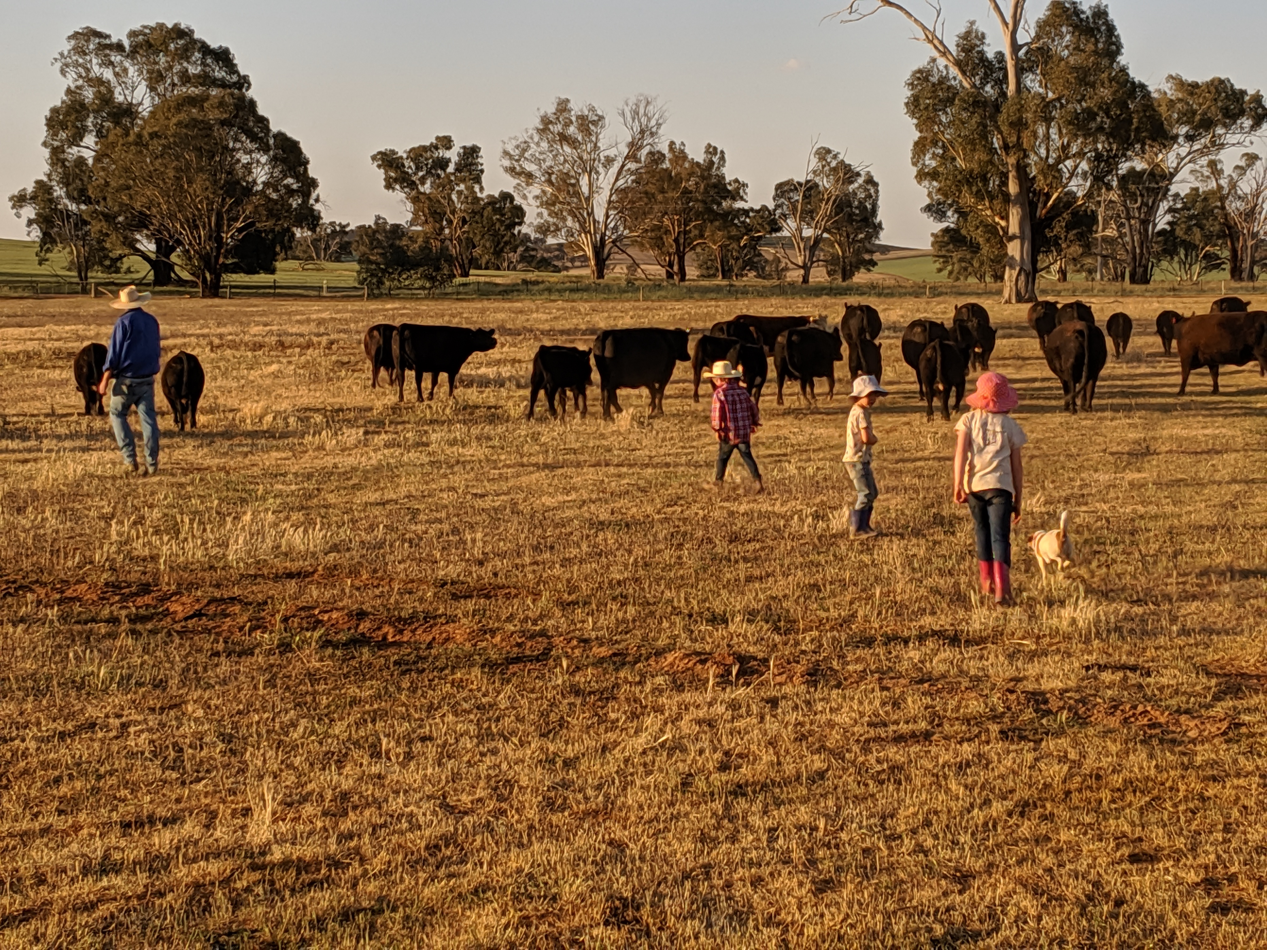 Cows_and_Kids (1)
